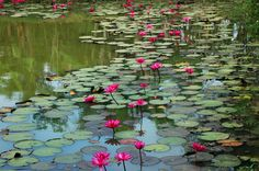 water lilies, Cambodia  nénuphars (by ichauvel)
