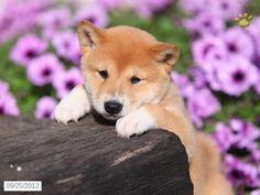 shiba inu...all cute and cuddly