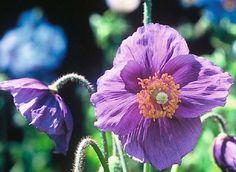 Himalayan Poppy  Hensol Violet Poppy