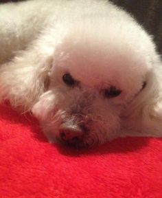 MY French Poodle age 16 and a half.Her name is zamba