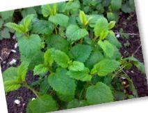 Citroenmelisse in de kruidentuin   Keukenkruid, Meerjarig, Winterhard, Genees kruiden   Tip: plant Citroenmelisse bij de kool Citroenmelisse houdt het koolvliegje op een afstandje