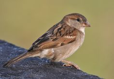 This is the Girl House Sparrow named, Mary :D