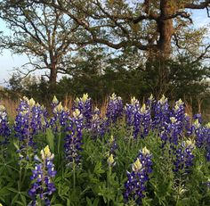 Our roots always brings us home! #Texas #Bluebonnets