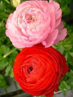 Ranunculus Flowers ~ Dreamy Nature
