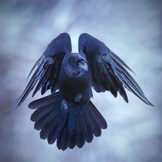 Raven (corvus corax) în zbor. Finlanda
