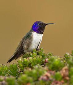 Colibrí del Chimborazo (Oreotrochilus chimborazo)