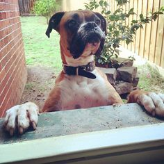 This guy!! Trying to order a latte at the back window of the house! #jax #boxer #boxersofinstagram