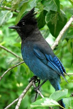 Steller's Jay by Frank Townsley on ARTwanted