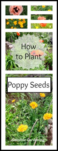 How to Start Poppy Seeds with Sensible Gardening and Living