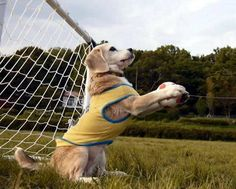 Purin the Super Beagle has World Cup footballing talent (Video) ... http://www.allvoices.com/contributed-news/17341594-purin-the-super-beagle-has-world-cup-footballing-talent-video