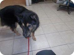 Camden, DE - Chow Chow/German Shepherd Dog Mix. Meet Leya, a dog for adoption. http://www.adoptapet.com/pet/11721671-camden-delaware-chow-chow-mix