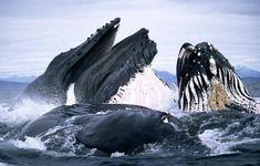 Bei der Jagd arbeiten bis zu 20 Buckelwale miteinander. Sie umkreisen die Schwärme und stoßen dabei Blasen aus. Die Fische werden so mit einem drehenden, blubbernden Netz gefangen. Die Wale treiben dann die Fische an die Oberfläche und verschlingen sie beim Auftauchen. Dieses faszinierende Schauspiel wurde aus einem Kajak fotografiert. Ganz ungefährlich ist die Situation nicht: Buckelwale sind mit durchschnittlich 30 Tonnen wahre Giganten des Tierreichs, mit einem Schluck nehmen sie tausende…