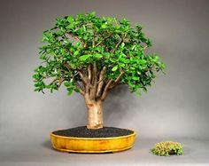 Pozsgafa vagy majomfa (Crassula ovata) / Jade Plant