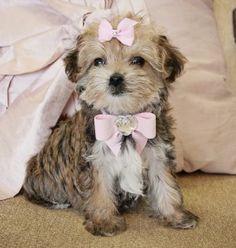 Beautiful Tiny Golden Yorkiepoo Princess. Adorable Baby Doll Face. Stunning Lush Coat!! Price $1,250.00