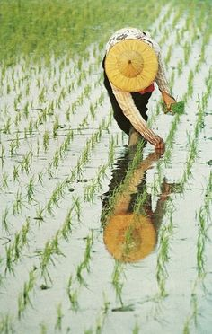 A rice planter in Taiwan spaces seedlings to assure maximum yield - National Geographic | January 1969