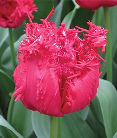Tulip, Barbados - Tulip Bulbs at Burpee.com