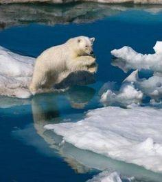 http://www.maxisciences.com/paul-nicklen/un-ours-polaire-saute-entre-deux-blocs-de-glace_pic9119.html  Un ours polaire saute entre deux blocs de glace