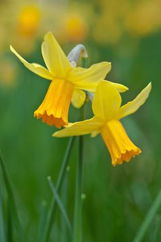 Daffodil (Narcissus 'Jetfire'), mid March. Daffodil Bulbs, Daffodils, Mother Plant, Birth Flowers, Spring Bulbs, Cool Plants, Flower Pictures, Growing Plants, Clematis