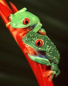 Red-eyed Tree Frog is an arboreal hylid native to Neotropical rainforests in Central America.
