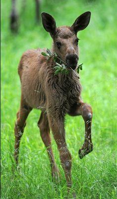 Baby moose is sooo cute!