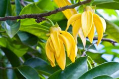 The Difference Between Ylang Ylang and Cananga Essential Oils:
