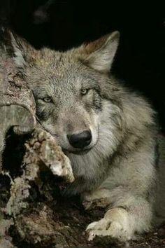 wolf by verna