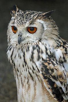 Birds of Prey - Stunning eyes on this Eagle Owl. Beautiful Owl, Animals Beautiful, Animal Spirit Guides, Spirit Animal, Nocturnal Birds, Burrowing Owl, Power Animal, Owl Photos, Owl Bird