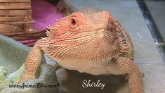 Bearded Dragon Hydration During Brumation Guinea Pig Toys, Guinea Pigs, Bearded Dragon Food, Pet Dragon, Dragon Costume, Reptile Cage, Reptile Enclosure, Exotic Fish, Reptiles And Amphibians