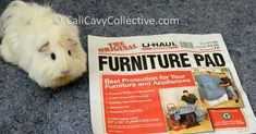 Cali Cavy Collective: a blog about all things guinea pig: Guinea Pig Bedding: Using Fleece and U-haul Furniture Pads