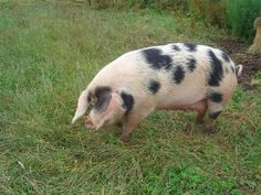 pictures of all kind of hogs and pigs | Pig Breeds