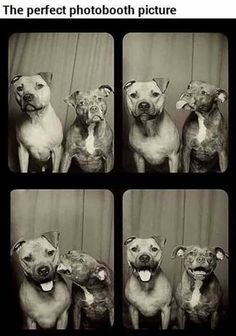 Funny pictures about What happens when you put two pit bulls in a photo booth. Oh, and cool pics about What happens when you put two pit bulls in a photo booth. Also, What happens when you put two pit bulls in a photo booth. I Love Dogs, Puppy Love, Cute Dogs, Awesome Dogs, Totally Awesome, Funny Dogs, Funny Animals, Cute Animals, Funny Memes
