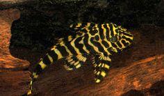 """L134 Peckoltia sp. """"Leopard Frog Pleco"""" -"""