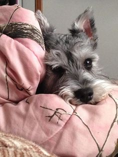 """Get excellent suggestions on """"schnauzer puppies"""". They are accessible for you on our internet site. Cute Puppies, Dogs And Puppies, Cute Dogs, Funny Dogs, Doggies, Miniature Schnauzer Puppies, Schnauzer Puppy, Dog Pictures, Animal Pictures"""