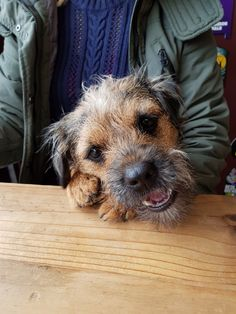 Nice Dogs, I Love Dogs, Best Dog Breeds, Best Dogs, Cute Puppies, Dogs And Puppies, Border Terrier Puppy, Animals And Pets, Cute Animals