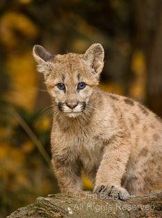 baby Mountain Lion (Felis concolor)