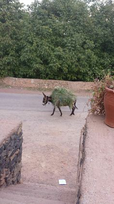 Maroccan donkey finds his way home all by himself.
