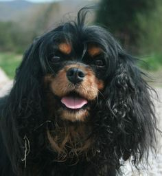 ♥Cavalier King Charles Looks like my MoHito