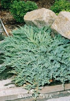 Monrovia's Prince Of Wales Juniper details and information. Learn more about Monrovia plants and best practices for best possible plant performance.