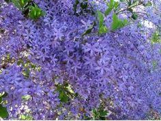 Flôr de São Miguel Love Flowers, Beautiful Flowers, Purple Wreath, Plant Identification, Blue Garden, My Secret Garden, Plantar, Tropical Plants, Small Gardens