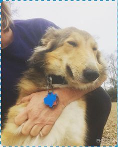 Six Pense Kaelyn, 11 months old, happy to be snuggled. Scotch Collie, Snuggles, Happy, Happiness, Being Happy