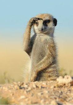 Funny Meerkat :)