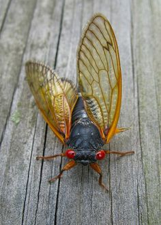 Cicadas 2011 - Oddball Cicada by Neato Coolville, via Flickr