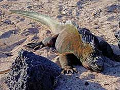 IGUANA-MARINHA Espécie foi uma das estudadas por Charles Darwin durante sua experiência em Galápagos - Veja também: http://semioticas1.blogspot.com.br/2012/10/lista-vermelha-da-extincao.html