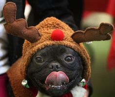 Pug says bring me some figgy pudding!