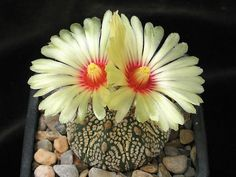 Astrophytum asterias-Texas in the United States and Mexico