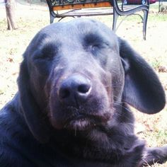 My labrador. :)