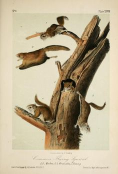 Southern flying squirrel, The quadrupeds of North America, John James Audubon, Vol I, 1851-54.