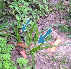Aprenda como eliminar tiririca do seu gramado | Agroline - Blog Agroline