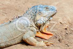 Qdiz Stock Photos   Closeup of iguana or lizard,  #animal #close #close-up #closeup #color #desert #dinosaur #exotic #eye #face #fauna #guana #head #iguana #lacertian #life #lizard #mammal #nature #predator #reptile #sand #up #wild #wildlife #yellow