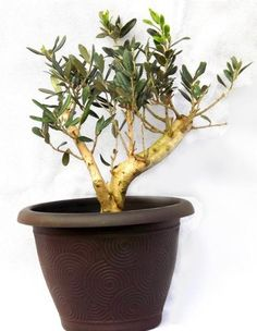 Gifts for your Best Friend, Beautiful Large Thick Stem Olive tree with a FREE stylish and decorative pot. Perfect as a Gift for your Best Friend. Best4garden http://www.amazon.co.uk/dp/B00G49C5AY/ref=cm_sw_r_pi_dp_BhGpwb0B3599V